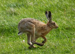 Brown Hare running (sandlings) Tags: suffolk hare wildlife running minsmere brownhare