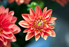Stands out (Pensive glance) Tags: dahlia plant flower nature fleur plante wonderfulworldofflowers flowerthequietbeauty