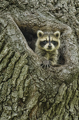Baby Raccoon (mizzginnn) Tags: baby raccoon