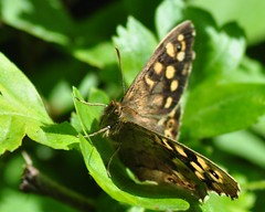 Speckled Wood Butterfly (Pararge aegeria) (marmendy mill) Tags: macro closeup butterfly bug insect photo nikon butterflies lepidoptera 1001nights mariposa essex greenleaf speckledwood rochford magnoliapark parargeaegeria 1001nightsmagiccity