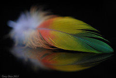 Rainbow Feather (Tony Dias 7) Tags: macro reflection rainbow colours lorikeet