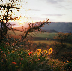 the light where you find it (manyfires) Tags: flowers sunset film oregon analog mediumformat square landscape golden hasselblad pacificnorthwest fields gorge pnw paintbrush magichour columbiarivergorge balsamroot hasselblad500cm rowenacrest floralscape