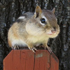 Petit suisse -- Little chipmunk (Gilles Gonthier) Tags: canada nature animal mammal rodent chipmunk qubec rodentia mammifre tamia tamiasstriatus sciuridae rongeur easternchipmunk petitsuisse canonpowershotg7 tamiaray gillesgonthier 052013 ggg7155592013