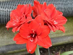 Red Lillies, David Welch Winter Gardens, Duthie Park, Aberdeen, May 2013 (allanmaciver) Tags: park winter red david gardens glow joy mature delight lillies welch impressive duthie allanmaciver