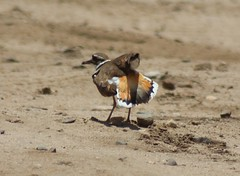 Follow me (Jim Farley) Tags: camp hospital display killdeer 14 may pendleton naval behavior juvenile distraction vociferus charadrius 2013