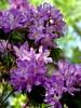 Purple Rhododendron / Happy Thursday Flower !!! (swetlanahasenjäger) Tags: artisticflowers masterphotos mindigtopponalwaysontop lovelyflickr takenwithlove dreamlikephotos thegoldenachievement takenwithhardwork flowerthequietbeauty thebestofmimamorsgroups exquisiteflowers greatshotss flowerarebeautiful