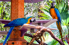 Macaws at the Oasis (Gary Burke.) Tags: travel trees vacation plants green bird nature animal canon eos rebel orlando florida ak parrot disney oasis disneyworld perch fl wdw dslr waltdisneyworld macaw animalplanet themepark animalkingdom theoasis garyburke klingon65 t1i canoneosrebelt1i