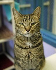 Simon_01 (AbbyB.) Tags: rescue cat feline kitty adopt mtpleasantanimalshelter