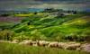 Tuscany glamour (R.o.b.e.r.t.o.) Tags: texture textured hdr1raw sienasiascianotoscanatuscanyitaliaitalycampagnafattoriapaesaggiopratipecoregreggeverdecollineterresenesicretesenesihillsflockherdsheepsland farmlandcountrysideacreagenikond700roberto