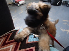 (skittlbrau) Tags: dog puppy softcoatedwheatenterrier gozerthedestructor