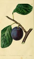 n225_w1150 (BioDivLibrary) Tags: fruitculture greatbritain periodicals umassamherstlibrariesarchiveorg bhl:page=21999677 dc:identifier=httpbiodiversitylibraryorgpage21999677 artist:name=augustainneswithers artist:viaf=95819243 nectarineplum taxonomy:binomial=prunus womeninscience augustainneswithers q2870951 illustrator:wikidata=q2870951 hernaturalhistory
