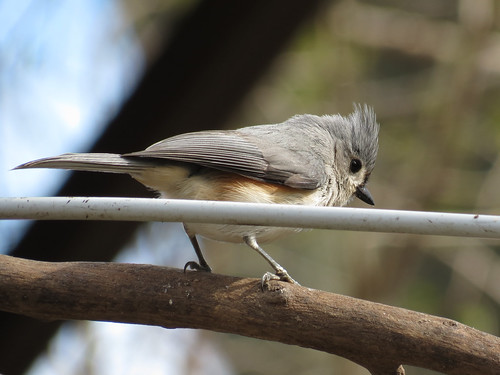 Tufted Titmouse ~ Baeolophus bicolor IMG_7495