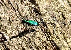Sixspotted Tiger Beetle (Photos by the Swamper) Tags: insects beetles tigerbeetle