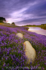 Easy pickings (Dustin Penman) Tags: california flowers blue lake water rock clouds landscape purple folsom dustin fields wildflowers lupine openfield penman