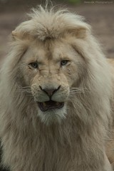 White lion - Afrikaanse witte leeuw (Berendje Photography1) Tags: africa wild white male animal king lion jungle angry wildanimal leader leeuw ouwehandsdierenpark animalphotography wildphotography afrikaanseleeuw ouwehandszoo flickrbigcats wilddier ouwehandszoorhenenthenetherlands