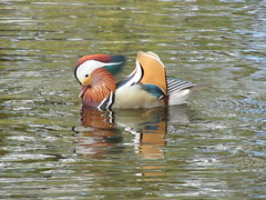 Mandarin Duck (Misty Jane) Tags: bird water scotland pond beak feathers feather elgin mandarinduck moray cooperpark