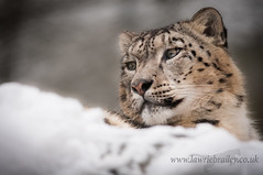 King of the Snow (LawrieBrailey) Tags: snow male cat landscape photography prime zoo big nikon wildlife 300mm leopard marwell afs f40 lawrie d90 brailey indeever flickrbigcats