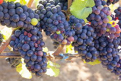 Bunches of Red Wine Grapes (JPLPhotographyPDX) Tags: red plants fruits leaves closeup season vineyard vines wine harvest winery foliage grapes bunch hanging agriculture grapevine ripe cabernet sauvignon