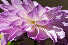 Dahlia at home (Charlie Martono (busy)) Tags: dahlia flower home nature beautiful ngc at naturesharmony flowerthequietbeauty
