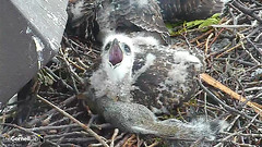 yawn on squirrel (Cornell Lab of Ornithology) Tags: bird nest cams cornell redtailedhawk nestlings labofornithology cornelllabofornithology