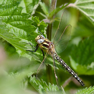 Hairy Hawker