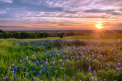 Texas Bluebonnets at Sunset (Ronnie Wiggin) Tags: flowers trees sunset usa sunrise landscape spring nikon texas country wildflowers bluebonnets springtime d300 bloomingflowers texasbluebonnets nikond300 rwigginphotos ronniewiggin