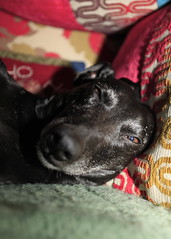It can't be time to get up yet surely! (GailShamezaRajgor (Rage With A Smile Photography)) Tags: dog pet pets cute love dogs canon whippet blackdog sleepy sleepydog canoneos lurcher sleepingdog dogtired canoneos5d bedlington whippetbedlington whippetcross canoneos5dmarkii canon5dmkii canoneos5dmkii
