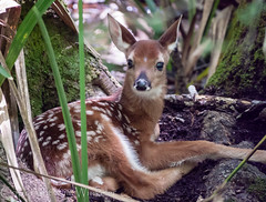 Adorability Overload! (kaw209) Tags: baby brown white cute green nature quiet sweet adorable deer hidden spots fawn g1 etsy whitetaileddeer 100300 beidlerforest fourholesswamp kwinkelerphotos panasonicg1