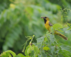 Orchard Oriole  With Dinner (MarshShutterbug) Tags: orchard oriole