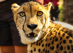 Cheetah Stare (Bartfett) Tags: park orange up animal yellow cat zoo big eyes feline san close wildlife fast diego safari stare cheetah potrait runner felidae