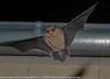 Pipistrelle commune - Pipistrellus pipistrellus.jpg