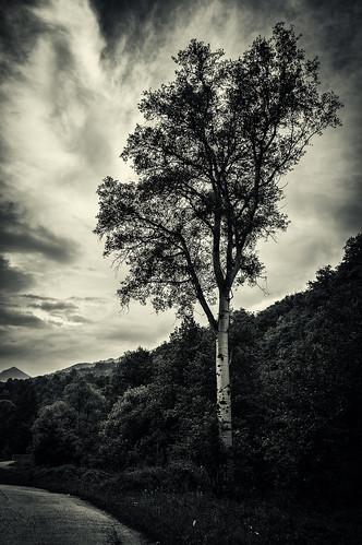 Banjice Tree