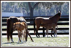 In the spring (walla2chick) Tags: horses florida colts fl mares ocala hennessey arabians 4922 2pair