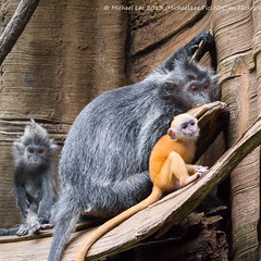 Silvered Langurs (P1730906) (Michael.Lee.Pics.NYC) Tags: world orange baby newyork zoo bronx mother jungle langur silvered