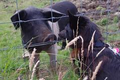 Schipperke meets Saddleback Pig (AssyntNature) Tags: uk dog scotland pig schipperke sutherland scourie