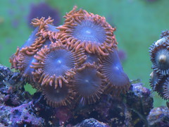 Zoanthus sp (digitalanatomy) Tags: aquarium buttons corals saltwater saltwateraquarium zoanthid zoanthus knappar koraller saltvattensakvarium mjukkoraller saltvattensguiden