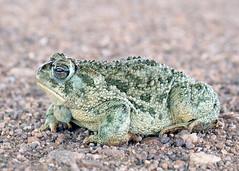 Anaxyrus cognatus, Great Plains Toad,Coronado National Forest, Cochise County, Arizona (Brad Wilson, DVM) Tags: arizona animal amphibian toad coronadonationalforest greatplainstoad bufonidae cochisecounty anaxyruscognatus