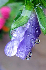 It rained, therefore... (Mike-Lee) Tags: macro water rain garden droplets colours raindrops closeups waterdroplets sept2013
