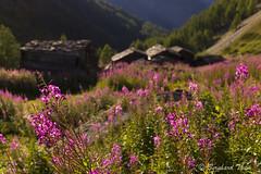 Summer blossom at Täschalp (Bernhard_Thum) Tags: summer mountains alps nature blossom natur berge bloom summertime alpen blüte wallis tistheseason carlzeiss zm greenscene täschalp makroplanar502zf leicam9 planart250 ottafe ottavan bernhardthum