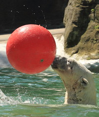 IMG_5794_1 (sandy richard) Tags: newyorkcity animals bears polarbear bronxzoo zoos animalsplaying sandyrichard sandrarichard