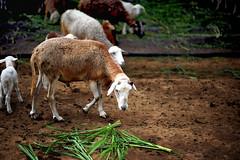 Kambing (eda_abrenica) Tags: sheep andrea goat fieldtrip andi kambing 2ndstop nikond700 nikkor85mm14g yokisfarm andreaseducationaltour