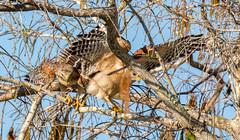 _AAC6282.jpg (Lake Worth) Tags: bird nature birds animal animals canon wings florida wildlife feathers wetlands everglades waterbirds southflorida 2xextender sigma120300f28dgoshsmsports