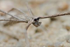 Deinopis sp.?_MG_6424 copy (Kurt (OrionHerpAdventure.com)) Tags: spider arachnid arachnida ogrefacedspider tropicalspider netcastingspider deinopis deinopidae deinopissp tropicalspiders