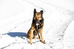 IMG_5539 (martin.paul) Tags: dog dogs animal animals tiere shepherd location hund orte germanshepherd blacky hunde tier locations ort schferhund lichte neuhausamrennweg shepherddog deutscherschferhund