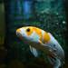 Yellow-white fish
