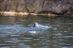 39 av 365 - Under ytan (Yvonne L Sweden) Tags: swimming sweden stockholm seal skansen simmar sl underthesurface underytan 365foton 3652015