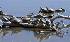 Winter Sunbathing -- Red-Eared Sliders (Trachemys scripta elegans); Albuquerque, NM, Tingley Beach Park [Lou Feltz] (deserttoad) Tags: park shadow newmexico nature water pond turtle herps invasive