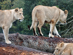 Longleat Safari Park Lions (Daves Portfolio) Tags: longleat safaripark somerset animals 2014 lion lions