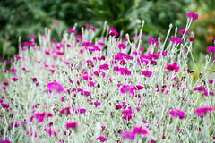 cooles Violett (rollirob) Tags: germany nikon blumen lila nrw florakln nikond7100