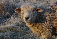 A touch of purple (jump for joy2010) Tags: uk winter england sheep farming january somerset livestock frostymorning winterwalk highbridge 2015